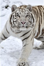 Preview iPhone wallpaper White tiger, snow, look, wildlife