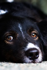 Preview iPhone wallpaper Black dog, sleep, look, face, eyes