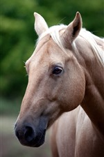 Preview iPhone wallpaper Brown horse, face, head