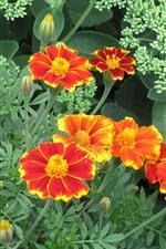 Calendula, orange and red petals