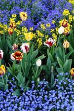 Tulipas coloridas e pequenas flores azuis, jardim