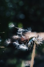Preview iPhone wallpaper Dandelion flying in the wind