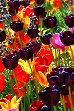 Preview iPhone wallpaper Dark purple tulips, red and yellow