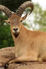 Preview iPhone wallpaper Goat, rest, horns, rocks