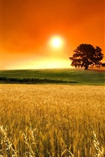 Preview iPhone wallpaper Golden field, tree, sunset, glare