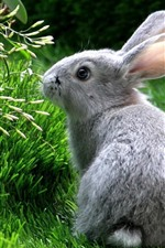 Gray rabbit, look, grass