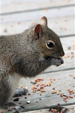 Preview iPhone wallpaper Gray squirrel eat nuts
