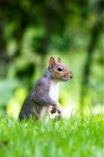 Preview iPhone wallpaper Green grass, squirrel, look