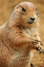Preview iPhone wallpaper Groundhog, paws