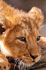 Preview iPhone wallpaper Lion cub, rest, face