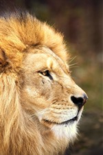 Preview iPhone wallpaper Lion, face, manue