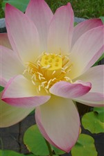 Preview iPhone wallpaper Lotus bloom, petals, flower close-up
