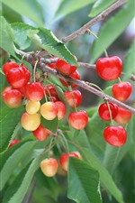 Preview iPhone wallpaper Many cherries, twigs, green leaves