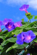 Preview iPhone wallpaper Many purple morning glory, flowers, sky