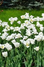 Many white tulips, garden