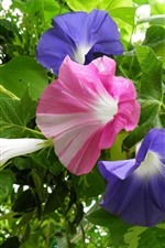 Preview iPhone wallpaper Morning glory, purple and pink flowers