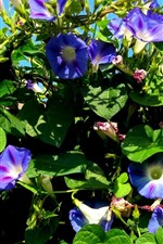 Preview iPhone wallpaper Morning glory, purple flowers, green leaves