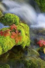 Preview iPhone wallpaper Moss, creek, stream, maple leaves