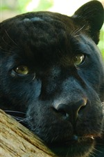 Preview iPhone wallpaper Panther, face, look, eyes, black leopard