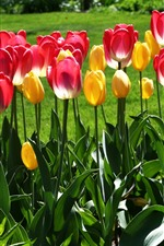 Park, pink and yellow tulips, green leaves