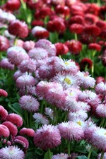 Preview iPhone wallpaper Pink and red daisies, many flowers