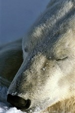 Preview iPhone wallpaper Polar bear in sleep