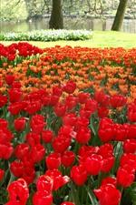 Rote und orange Tulpen, Park, Bäume, grüne Wiese