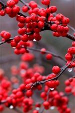 Red berries, rowan