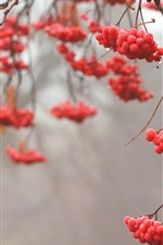 Preview iPhone wallpaper Red berries, twigs, dew