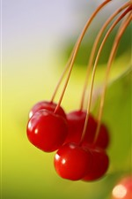 Red cherries close-up, green background