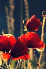 Preview iPhone wallpaper Red poppies, flowers, summer