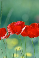 Preview iPhone wallpaper Red poppies, green grass, flowers