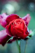 iPhone壁紙のプレビュー 赤いバラのつぼみ、かすんでいる背景