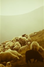 Preview iPhone wallpaper Sheep, grazing, boy, slope, morning