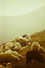 Sheep, grazing, boy, slope, morning
