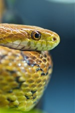 Preview iPhone wallpaper Snake, viper, head, eyes
