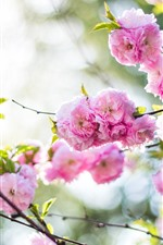 Preview iPhone wallpaper Spring, pink peach flowers bloom, hazy