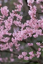 Spring, tree flowers, pink sakura bloom