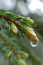 Spruce twigs, buds, water droplets