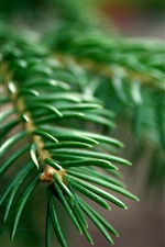 Preview iPhone wallpaper Spruce twigs, pines