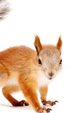Preview iPhone wallpaper Squirrel, look, tail, white background