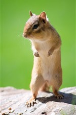 Preview iPhone wallpaper Squirrel standing, rock, sunshine
