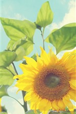 Preview iPhone wallpaper Summer, sunflowers, glare, sunshine