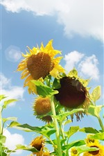 Preview iPhone wallpaper Sunflowers, sky, glare, white clouds, summer