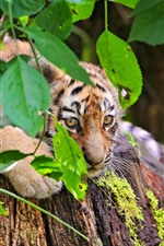 Preview iPhone wallpaper Tiger cub, look, green leaves, twigs