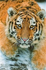Preview iPhone wallpaper Tiger look at you, snow, face, rest