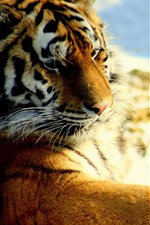Preview iPhone wallpaper Tiger look back, rest, snow, wildlife