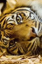 Preview iPhone wallpaper Tiger, rest, face, look, nose, eyes