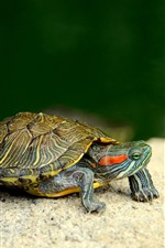Preview iPhone wallpaper Turtle, pet