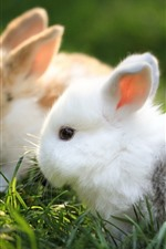Preview iPhone wallpaper Two rabbits, cute pet, grass